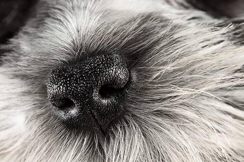 Suchy i ciepły nos u psa: kiedy iść do lekarza weterynarii?