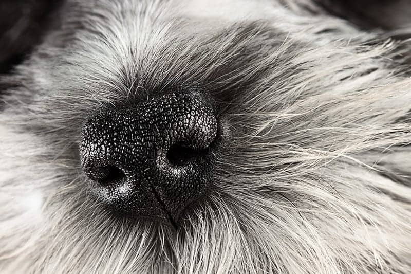 Suchy i ciepły nos u psa: kiedy iść do <a href=