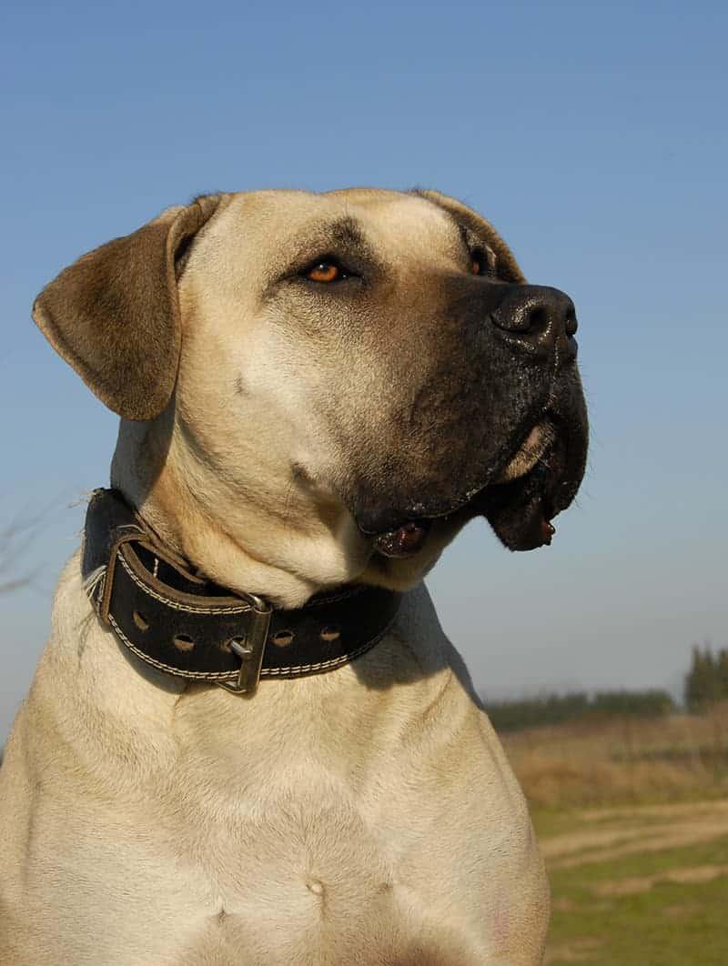 Pies kanaryjski