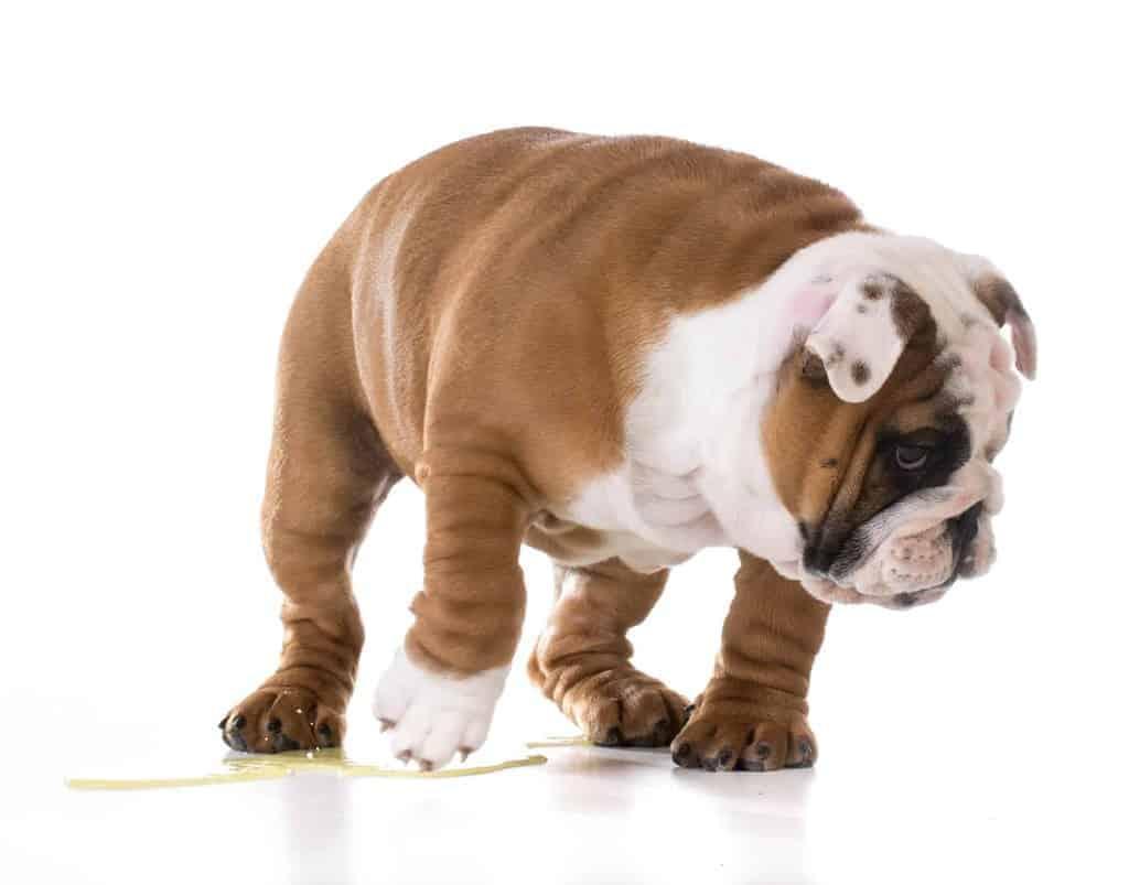 Nietrzymanie moczu u psa