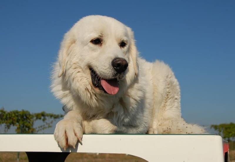 Pirenejski pies górski charakter