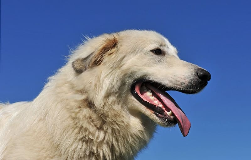 Pirenejski pies górski choroby