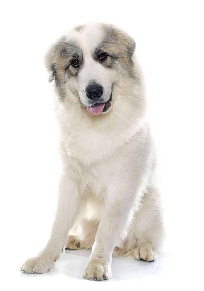 Pirenejski pies górski wygląd