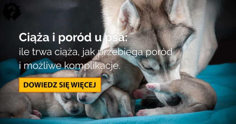 Ciąża u psa: ile trwa, objawy ciąży, poród i opieka nad szczeniętami