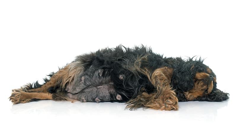 Objawy ciąży u psa