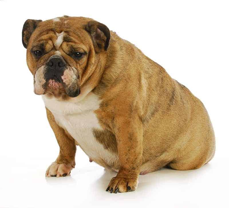 Ile trwa ciąża u psa?