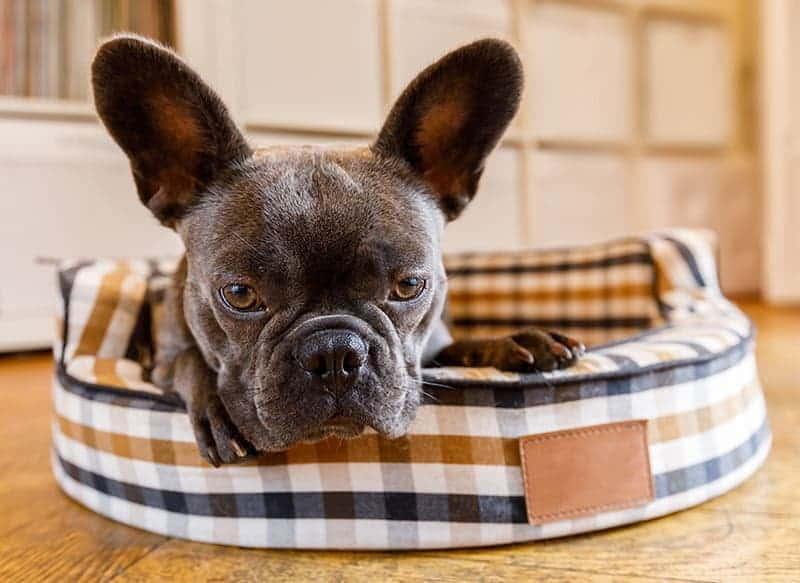 Układ odpornościowy psa i kota
