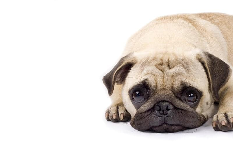 Wysoka gorączka u psa przyczyny