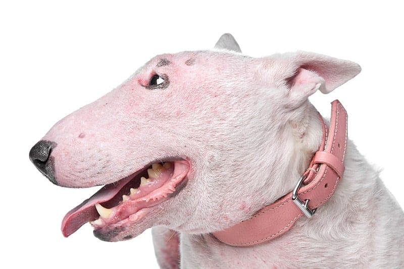Najczęstsze choroby skóry u psów