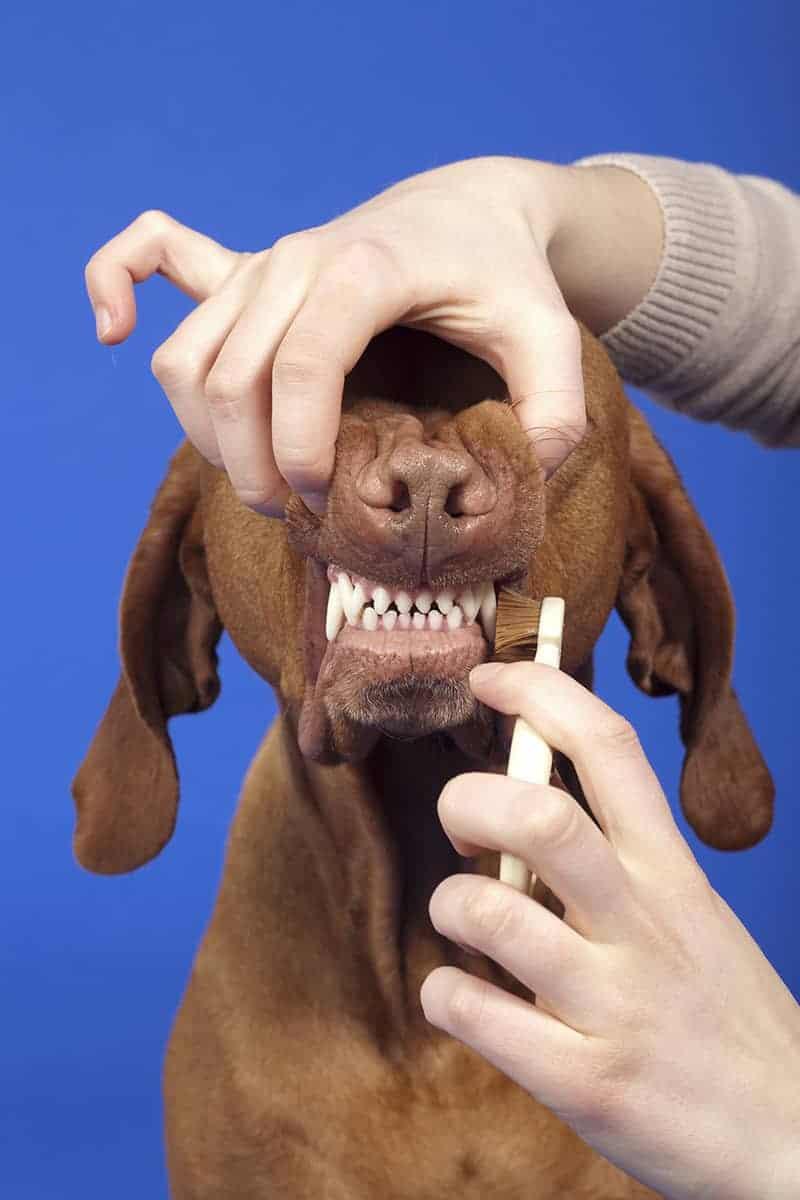 Oczyszczanie zębów psa w domu