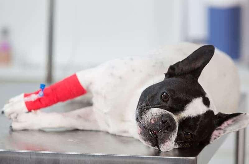 Ostra niewydolność nerek u psa objawy