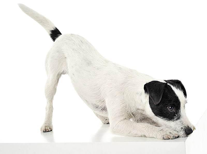 Parson russell terrier pielęgnacja