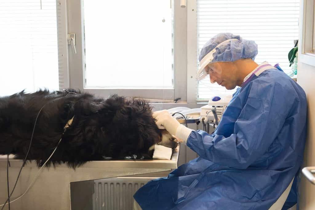 Usuwanie zębów u psa