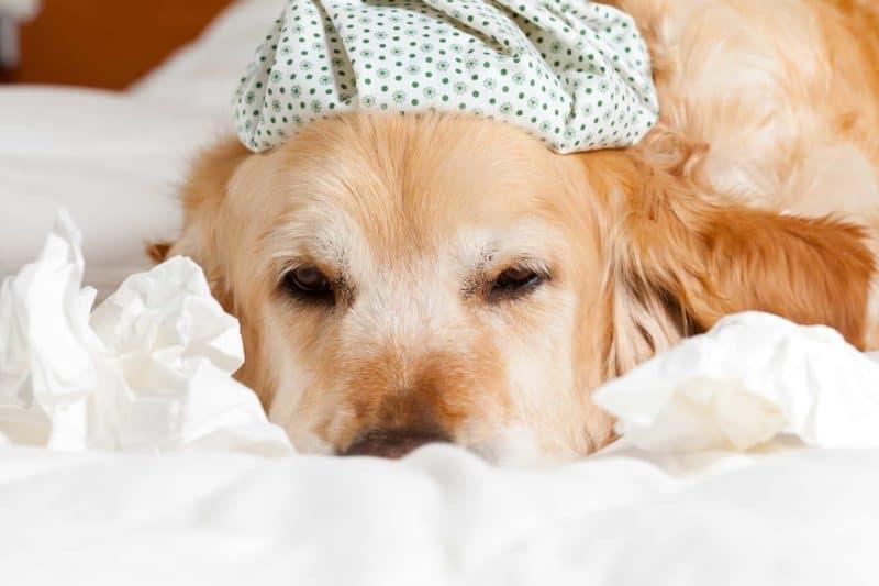 Katar u psa: przyczyny i leczenie chorób objawiających się katarem