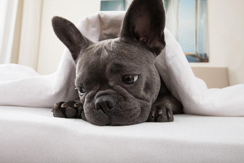 Objawy kataru u psa