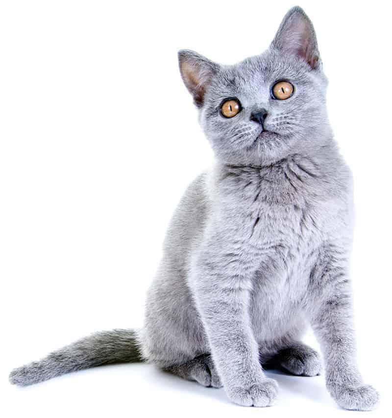 Kot kartuski wygląd