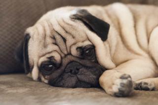 Przewlekła niewydolność nerek u psa: jak ją rozpoznać i leczyć? ⋆ co w sierści piszczy