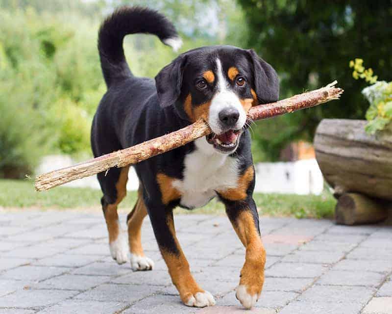 Dla kogo appenzeller będzie idealnym psem?