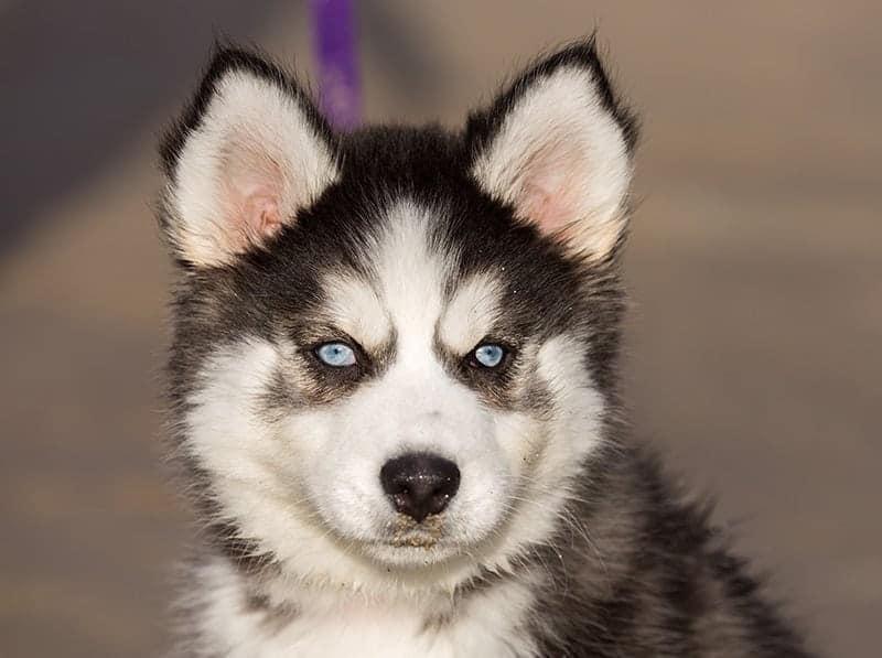 Alaskan Klee Kai wygląd