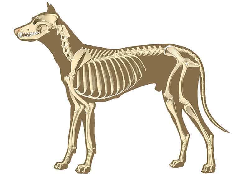Jak zbudowany jest kręgosłup u psa?