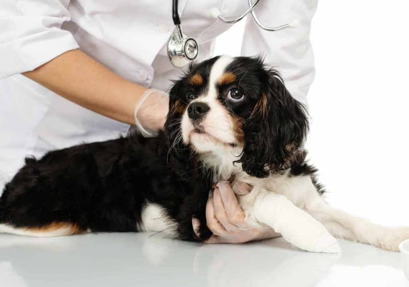 Kulawizna u psa: rozpoznanie, leczenie i rehabilitacja