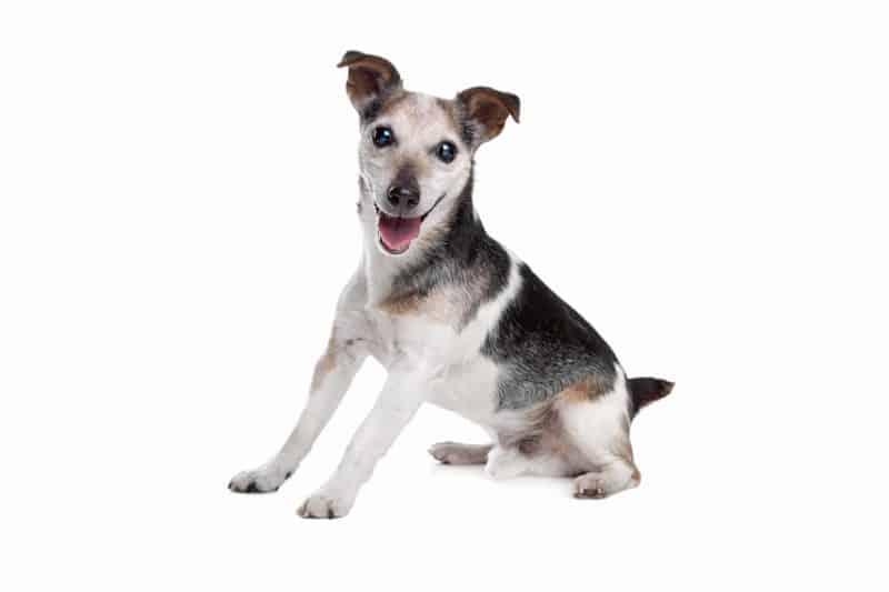 SARDS u psa: jak rozpoznać syndrom nagłego uszkodzenia siatkówki?