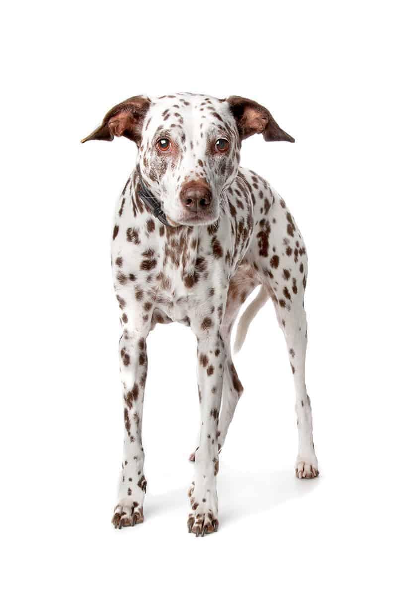 SARDS u psa objawy