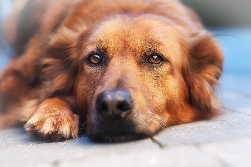 Spondyloza u psa objawy