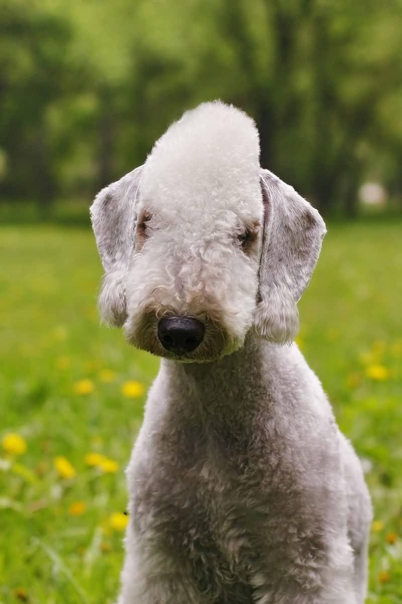 Bedlington terrier charakter