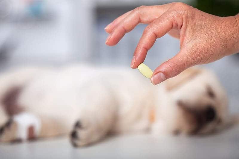 Jak uśmierzyć ból u psa i kota?