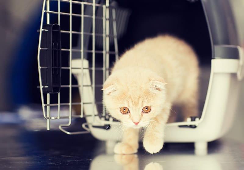 Kot szkocki zwisłouchy charakter