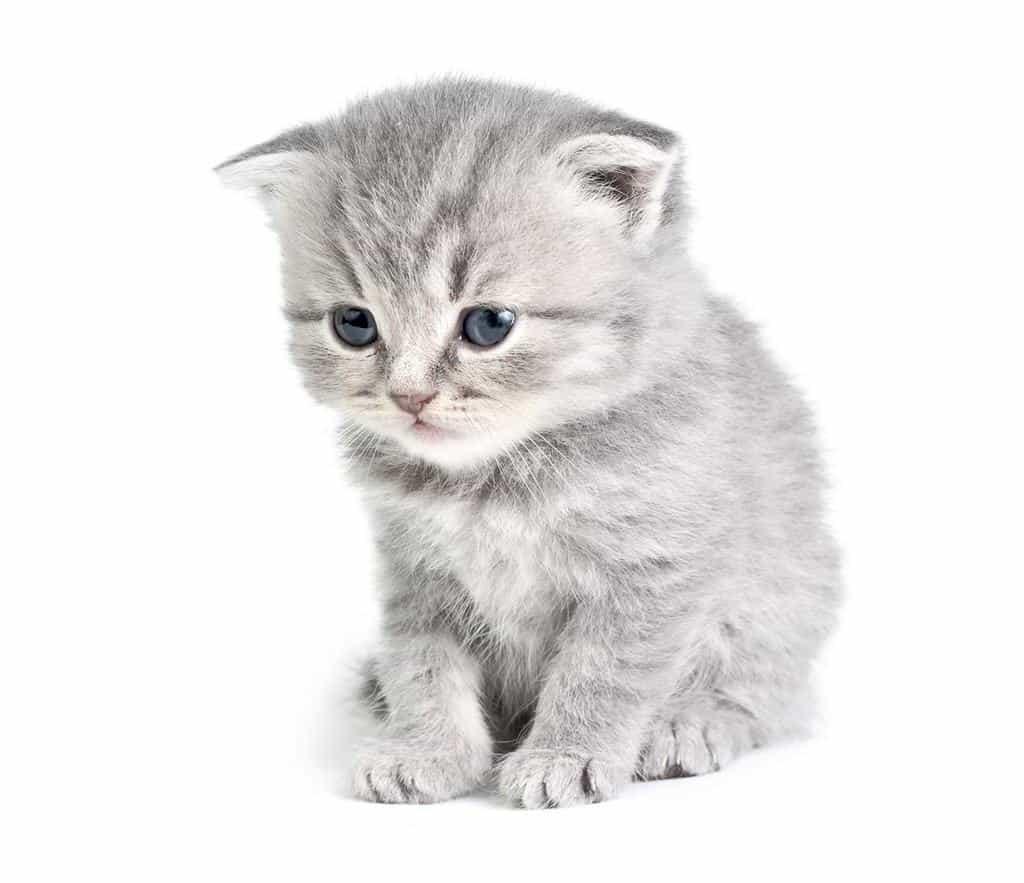 rasa kota kot brytyjski