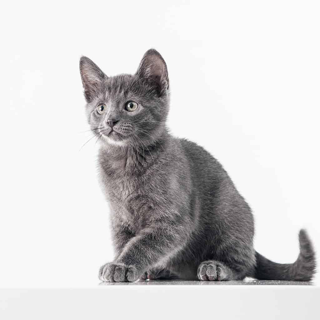rasa kota kot rosyjski niebieski