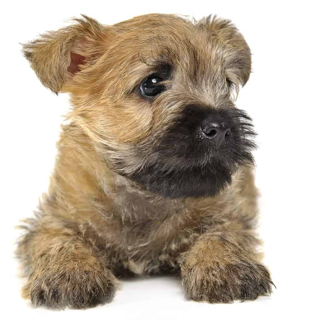 Jaka to rasa psa?