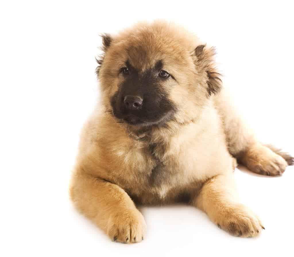 Rasa psa owczarek kaukaski