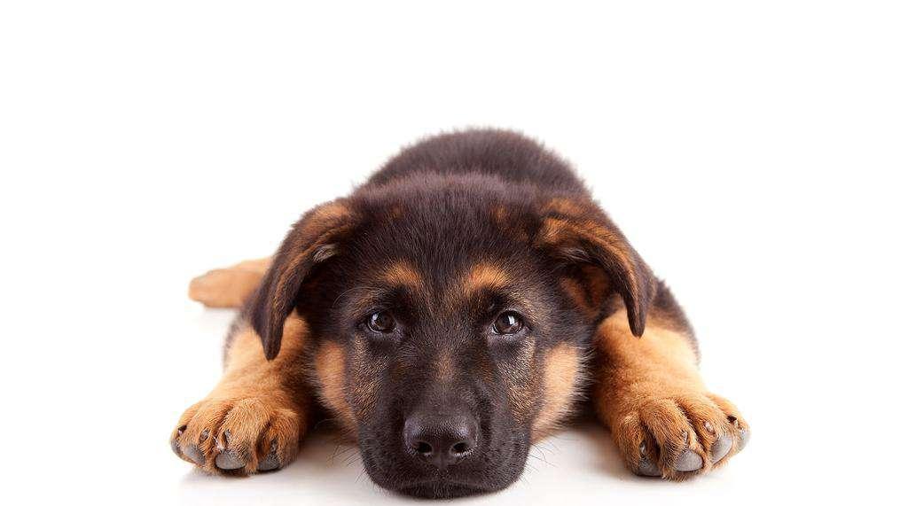 Rasa psa owczarek niemiecki