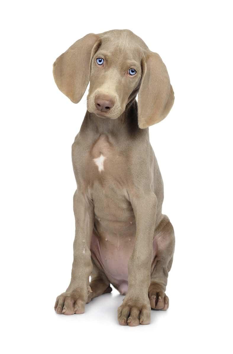 Rasa psa Wyżeł weimarski