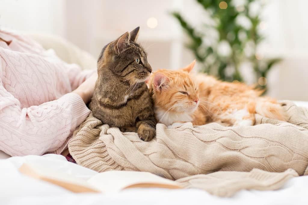 rasy kotów domowych