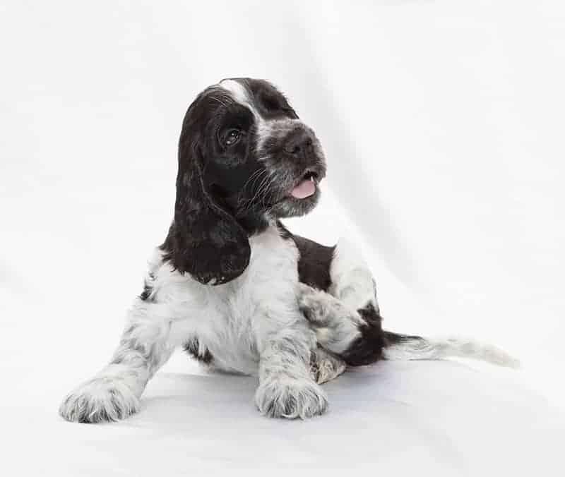 Jak leczy się świąd u psa?