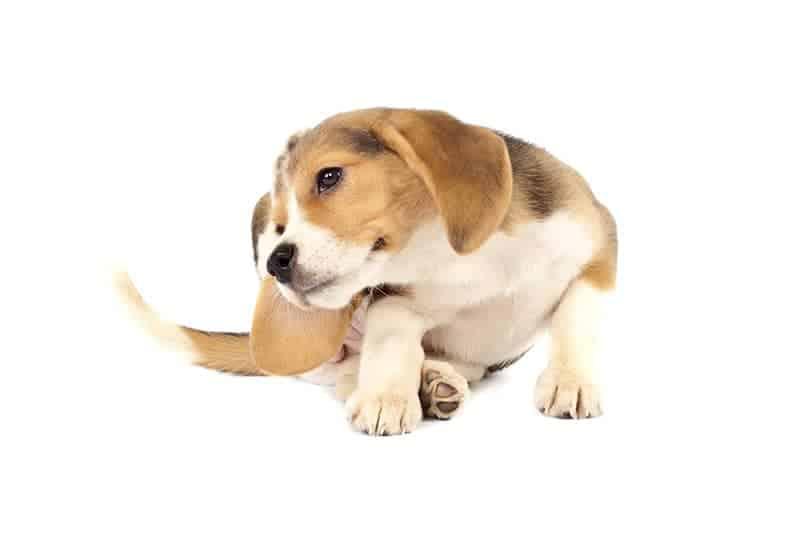 Objawy świądu u psa