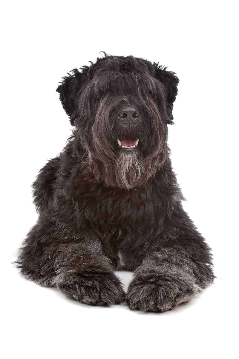 Bouvier des flandres choroby
