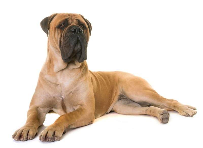 Bullmastiff: charakter, pielęgnacja i najczęstsze choroby