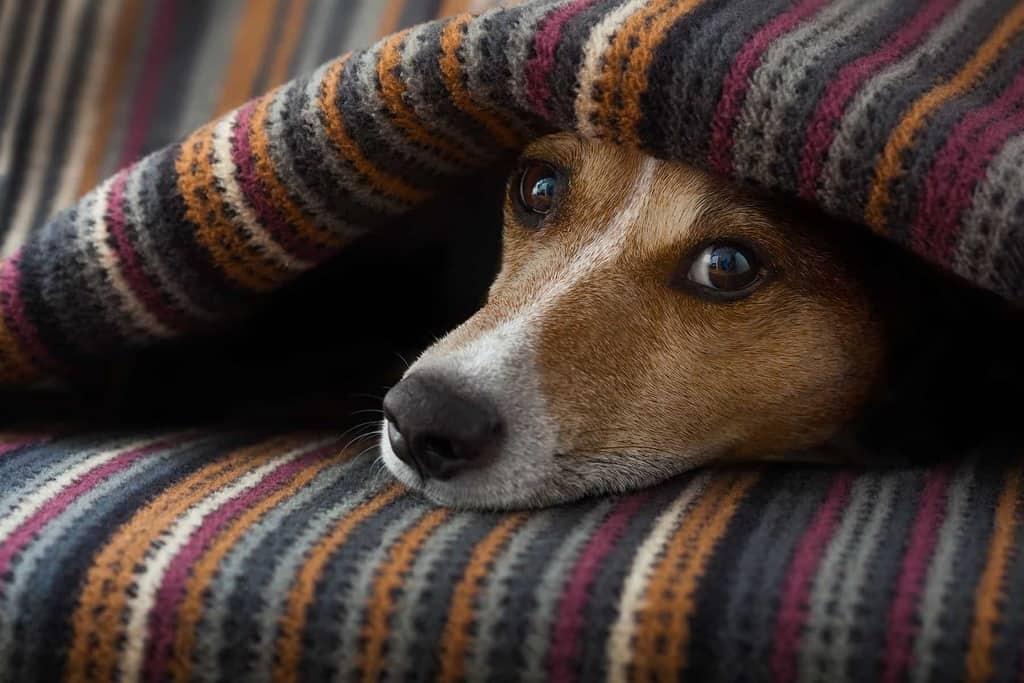Angina u psa