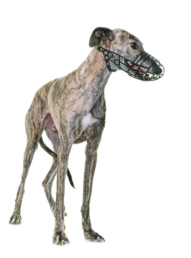 Jak dopasować kaganiec dla psa?