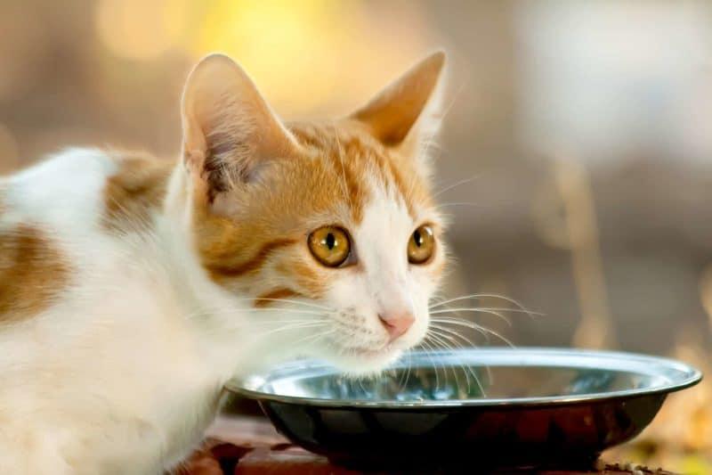 Karma dla kota: kompletny przewodnik żywienia Twojego kota
