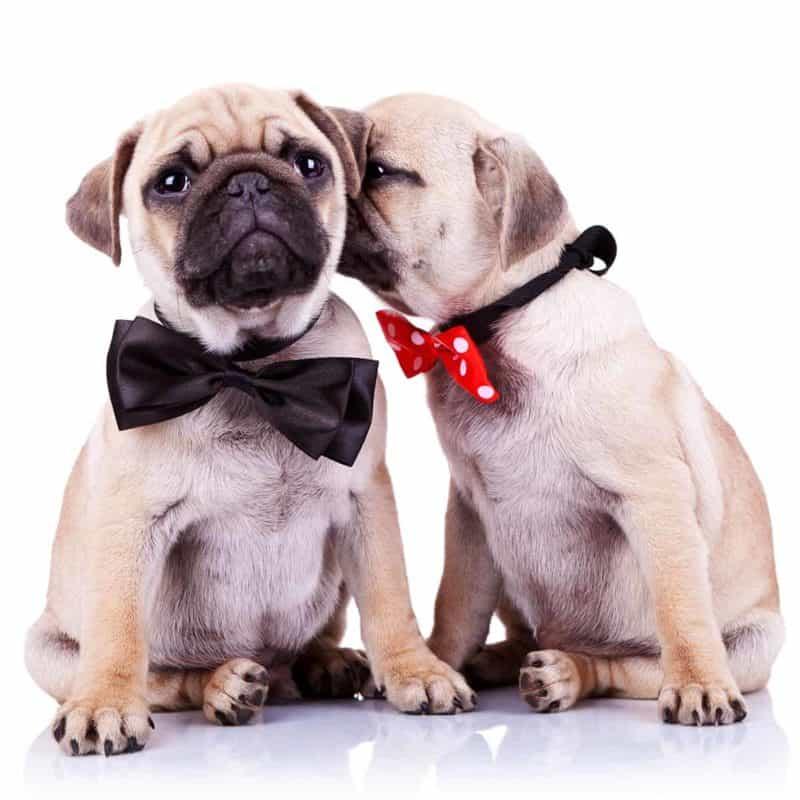 Pies czy suka? Charakter, koszty utrzymania i choroby