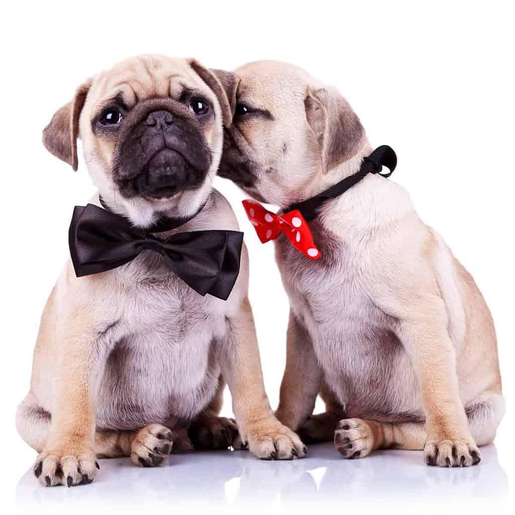 Pies czy suka?