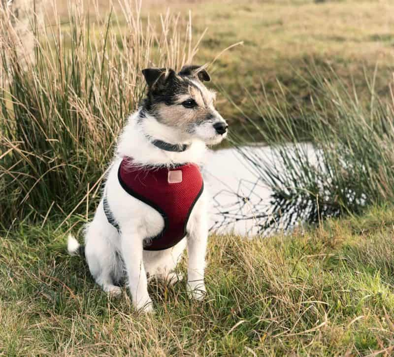 Szelki dla psa: bezuciskowe, do samochodu i norweskie