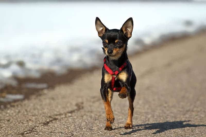 Uprząż dla małego psa