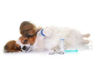 Choroba rubartha u psa